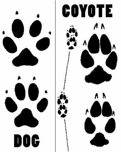 dog track compared with coyote track