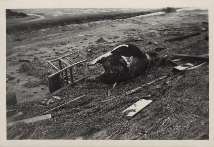 Tijdens de Watersnoodramp 1953 zijn niet alleen mensen, maar ook veel dieren omgekomen. Kadaver van een koe en huisraad, vermoedelijk in de omgeving van Oostdijk. Zeeuws Archief – Beeldcollectie: BG-0306-21. Datering: 1953. Onderdeel v.e. serie beelden v.d. gevolgen na de watersnoodramp van 1 februari 1953 in Oost Zuid-Beveland, bij Kruiningen en Hansweert-Oost. Materiaal: foto. Afmetingen: b. 8 cm 0 h. 5,5 cm 0. Auteur: Kraus, T.M…