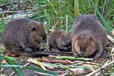 north american beaver | The North American Beaver Family