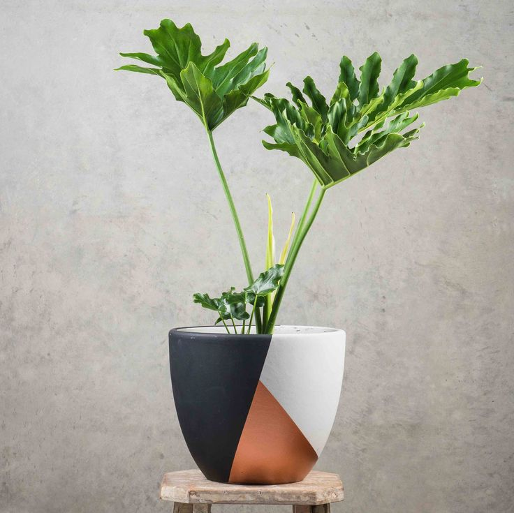 Philodendron Selloum - lovely split leaf philodendron, adds a tropical feel to your space.