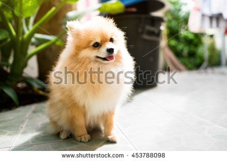 Cute Pomeranian dog sits happily. - stock photo