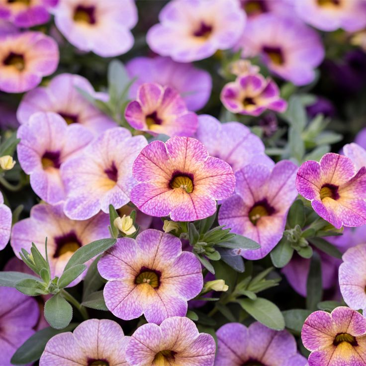 366 best flowers petunias calibrahoas images on - Calibrachoa superbells ...