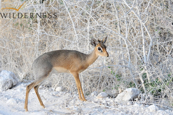 Andersson's Camp - The Damara dik- dik is one of Etosha's many specials! #Safari #Africa #Namibia #WildernessSafaris