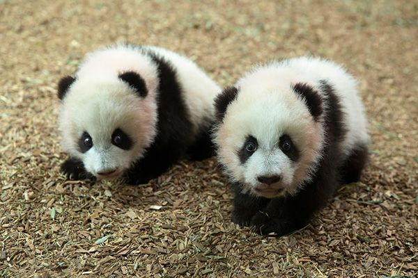 Zoo Atlanta's Panda Cubs, Mei Lun and Mei Huan... over 100 days old and living together with Mum... trying not to create too much mayhem! 11/27/13