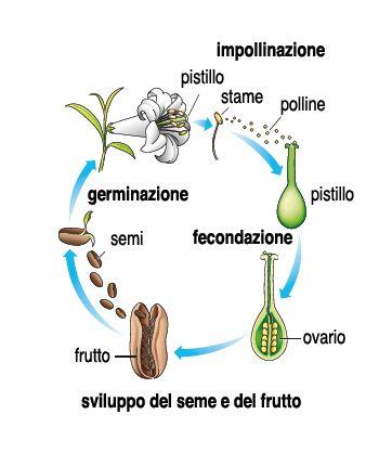 Ciclo di impollinazione immagini per facebook pinterest for Immagini api per bambini