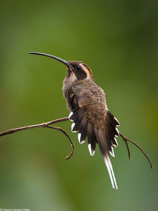 Scale-throated Hermit Hummingbird (Phaethornis eurynome) by Octavio Campos Salles