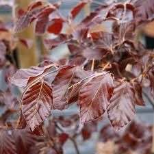 Fagus sylvatica purpurea ( Copper Beech) tree leaves during the summer. The other Beech trees are the green variety so this one will look different.