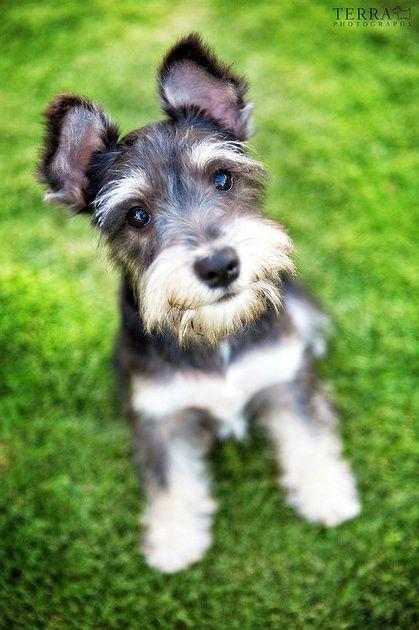 Schnauzer puppy // KaufmannsPuppyTraining.com // Kaufmann's Puppy Training // dog training // dog love // puppy love //