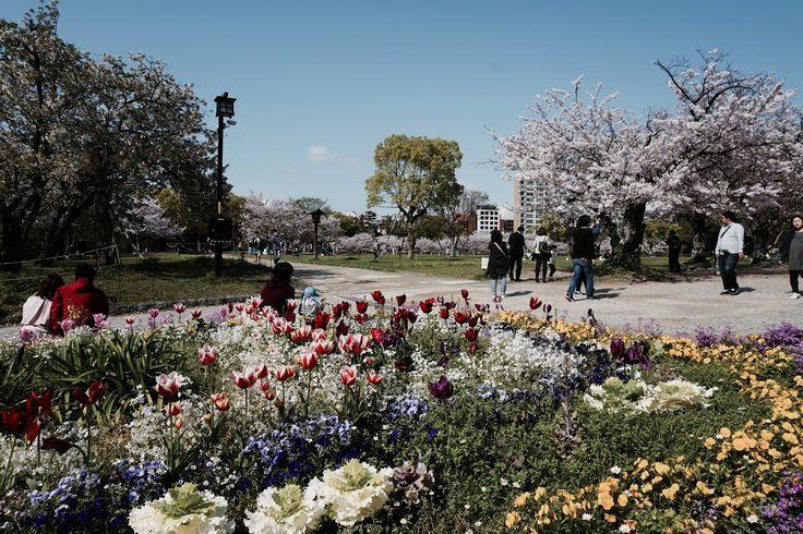 Cherry Blossoms, Fukuoka, Japan