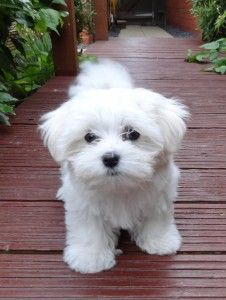 cute little maltipoo (maltese / toy poodle ) looks like my little pup