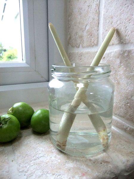 10 légumes quon peut faire repousser = La citronnelle est une sorte d'herbe (on l'appelle après tout lemongrass en anglais) et par conséquent, elle repousse… comme de la mauvaise herbe! Vous pouvez simplement placer les restes d'une branche dans un verre d'eau et garder le verre dans un endroit ensoleillé. La plante va développer des racines. Lorsque la citronnelle atteint 30 centimètres, on peut couper ce dont a besoin et laisser le reste pour qu'elle continue à pousser.