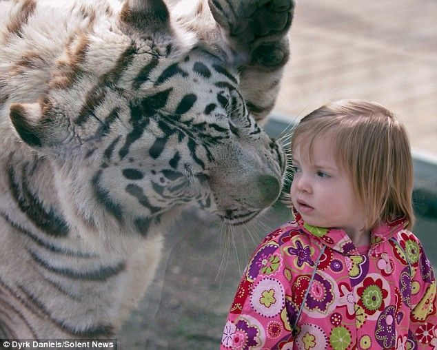The moment a two-year-old girl came face to face with a 370lb Bengal tiger.