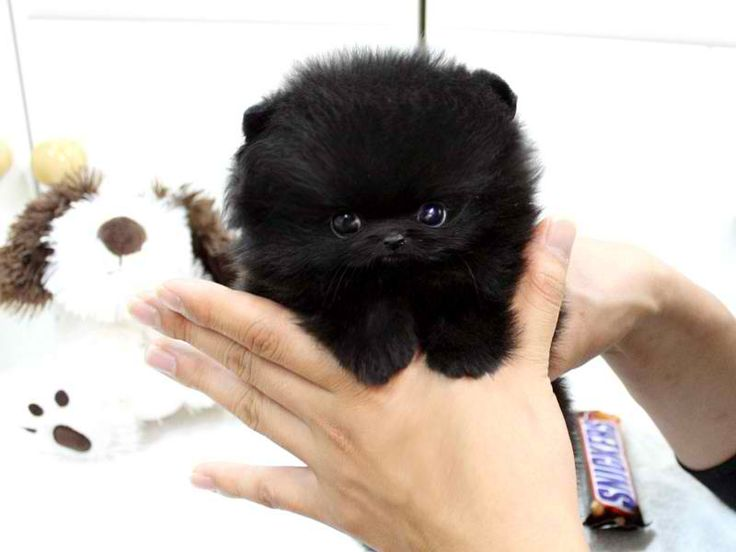 Teacup Pomeranian..soo adorable!! More