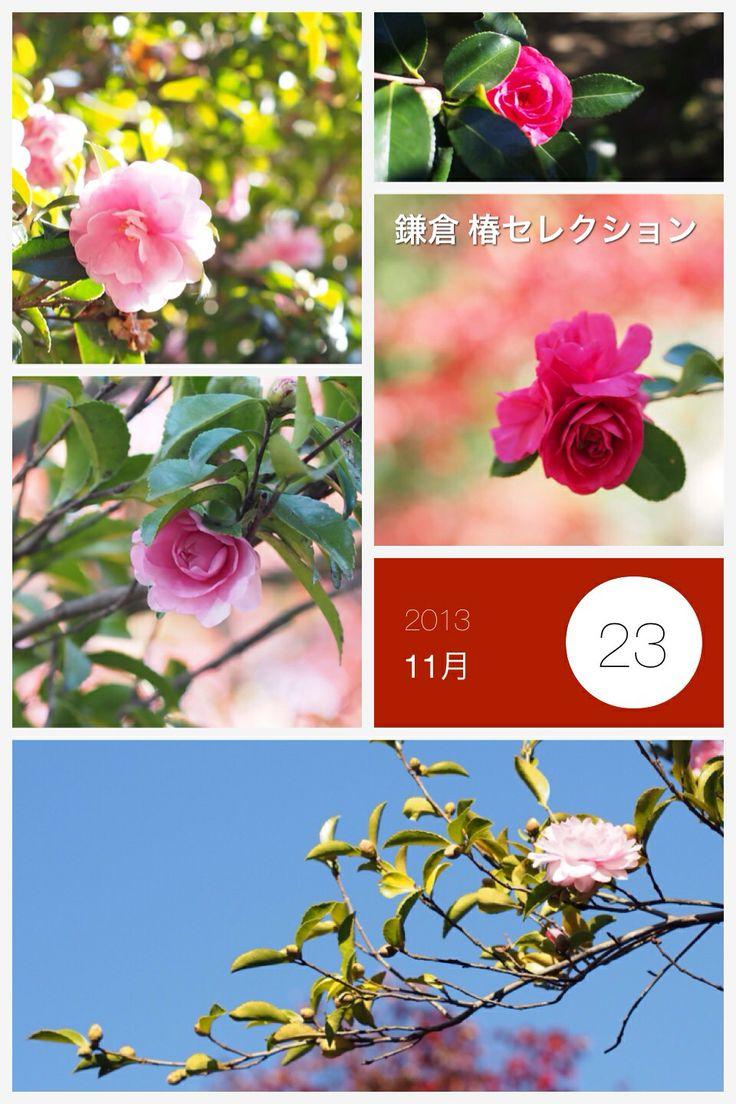 鎌倉へ紅葉を撮りに行った時の椿写真コレクション。