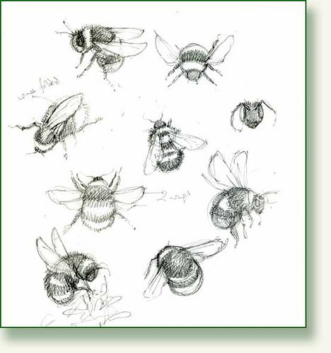 Bumble Bee sketches by pencilandleaf, via Flickr