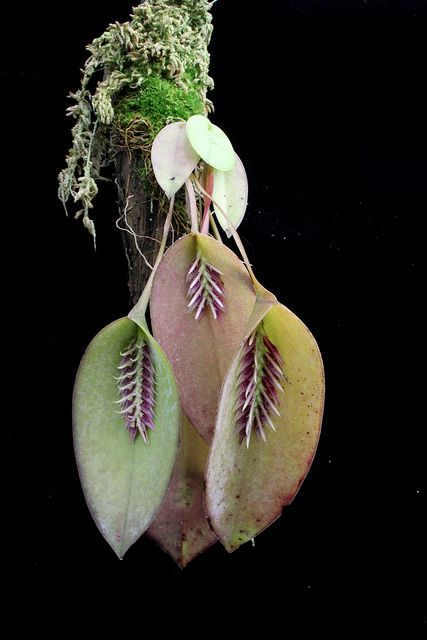Orchid: Acianthera pectinata - Flickr - Photo Sharing!