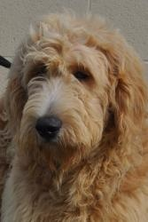 Shealyn is an adoptable Golden Retriever Dog in Newark, DE. Shealyn is a lovely, 6 month old Golden Retriever/Poodle mix that needs a home. She came to us from a breeding farm and has never known what...