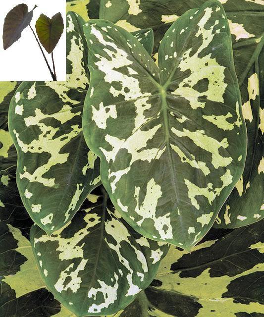 """Alocasia plant """"Hilo Beauty"""" elephant ear"""