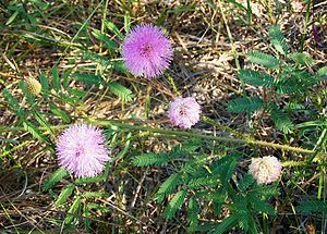 Catclaw Sensitivebriar (mimosa nuttallii): Mimosa nuttallii, the Nuttall's sensitive-briar, catclaw brier or sensitive brier, is a herbaceous perennial legume in the subfamily Mimosoideae native to the central United States. It has a trailing semiwoody vine covered with small recurved prickles that can be painful to bare skin.  The ribbed stems of this plant usually grow to 4 ft. or more and are branched. Plants rarely reach more than 1–2 ft. in height. The frond-like leaves are alternate…