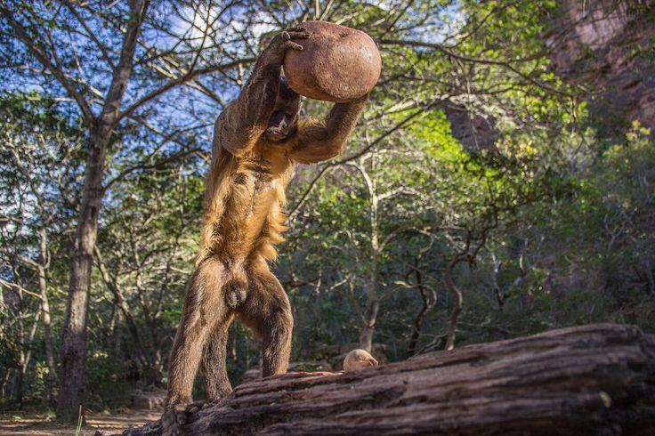 Nut-cracking capuchin monkey, by Luca Antonio Marino, Italy. Royal Society Publishing photography competition 2015.