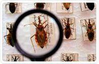 Doença de Chagas: sintomas, transmissão e prevenção