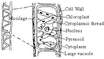 Image result for labelled diagram of a spirogyra cell projects to image result for labelled diagram of a spirogyra cell projects to try pinterest diagram and microbiology ccuart Gallery