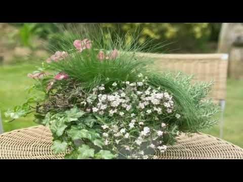 Gypsophila  - flowering plants