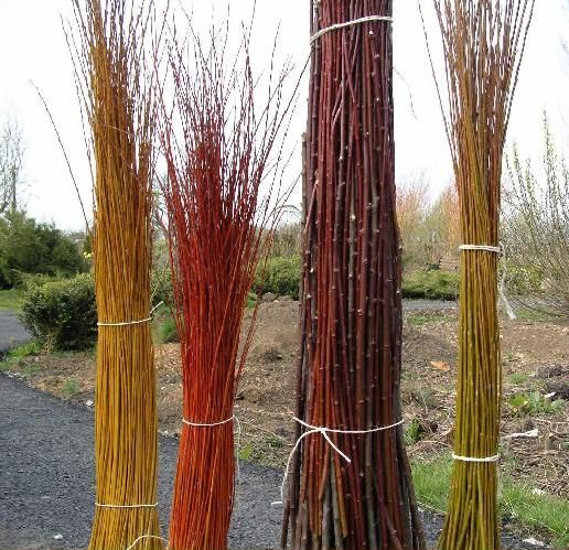 From left to right, Salix Alba VitellinaSalix Alba BritzensisSalix Daphnoides Aglaia and Salix Fragilis