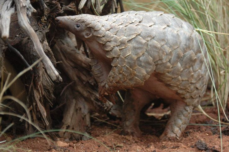 https://flic.kr/p/sELLyu | Pangolins | Pangolins in the wild in Zimbabwe. Photos (c) Tikki Hywood Trust. Pangolin. Many types of Pangolin are threatened or near threatened. They are hunted and eaten in parts of Africa, and are a popular type of bush meat. They are also in great demand in China because their meat is considered a delicacy and some Chinese believe pangolin scales have medicinal qualities. Pangolin are illegally trafficked for food and folk medicine. Hunting and deforestation…