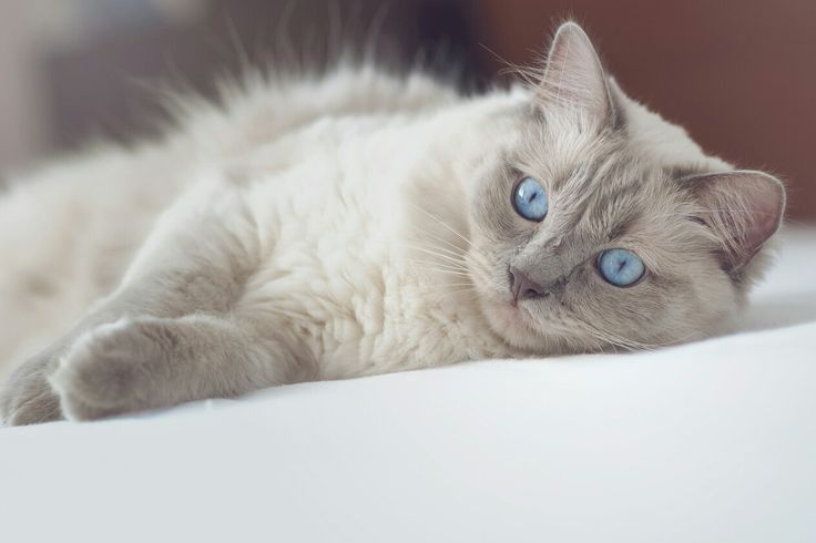 Ragdoll cat in the bed