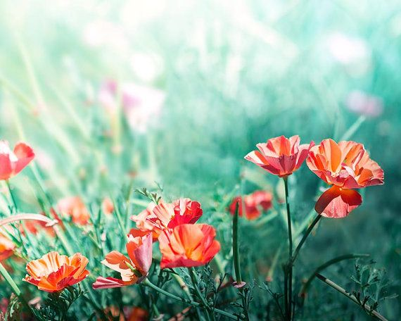 floral photography botanical orange poppies photography 8x10 8x12 fine art photography nature flowers photography peach teal golden wall art...