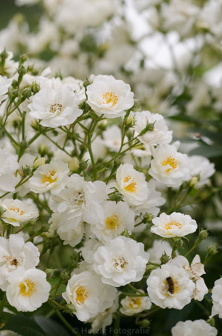 Alternative to Mme Alftred Carriere: Rambling Rector  - A large rambling rose. Large trusses of creamy white, fading to white blooms are produced en-masse in midsummer. Blooms are fragrant and have a cluster of golden yellow stamens and are followed by an attractive hip display. Foliage is a very healthy grey-green. The best rose for scrambling up through trees, covering walls and unsightly buildings. Can be grown up a north facing wall. Hardy. Good disease resistance.