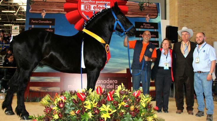 Venta de Caballos de Tiro Pesado Registrados Servicio de monta directa e inseminacion IG -Criaderomaguare Percheron - Draft horses