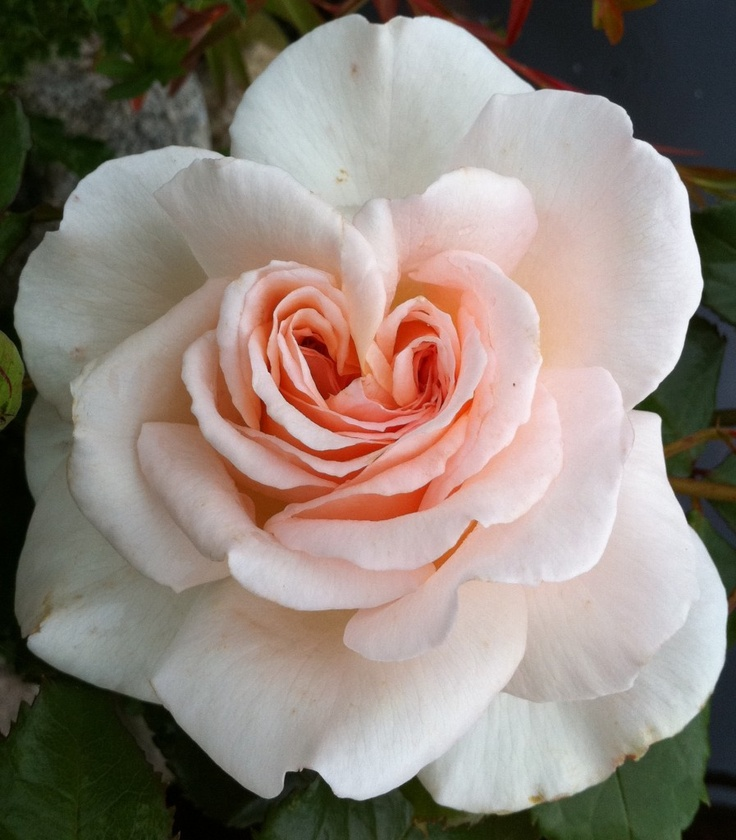 I love roses! And this one shaped like a heart, appeared like a dream in my garden last summer.