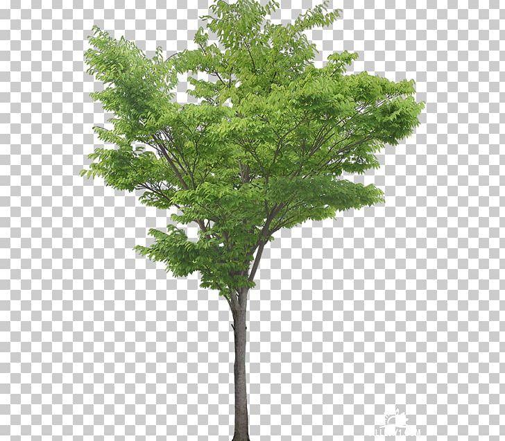Pin By Dana Alturki On Heart Trees To Plant Southern Magnolia Tree Magnolia Trees