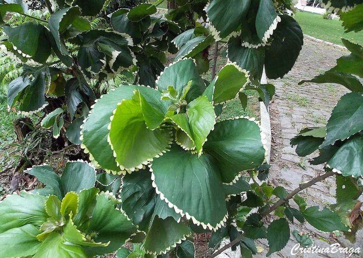 Arbusto semi-lenhoso, pertence à família Euphorbiaceae, nativo das Ilhas do Pacífico, perene, de 1,5 a 3,0 metros de altura, tem aspecto arredondado e folh