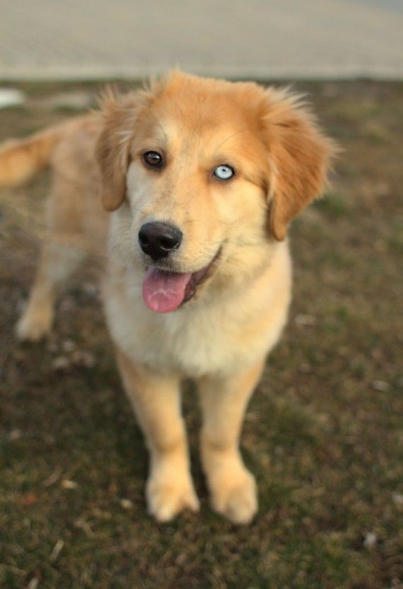 Another example of a Husky/Golden Retriever mix. Not as fluffy as Phoebe, but those eyes!