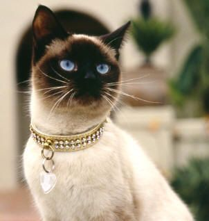 Look this siamese !!! How it's so fancy