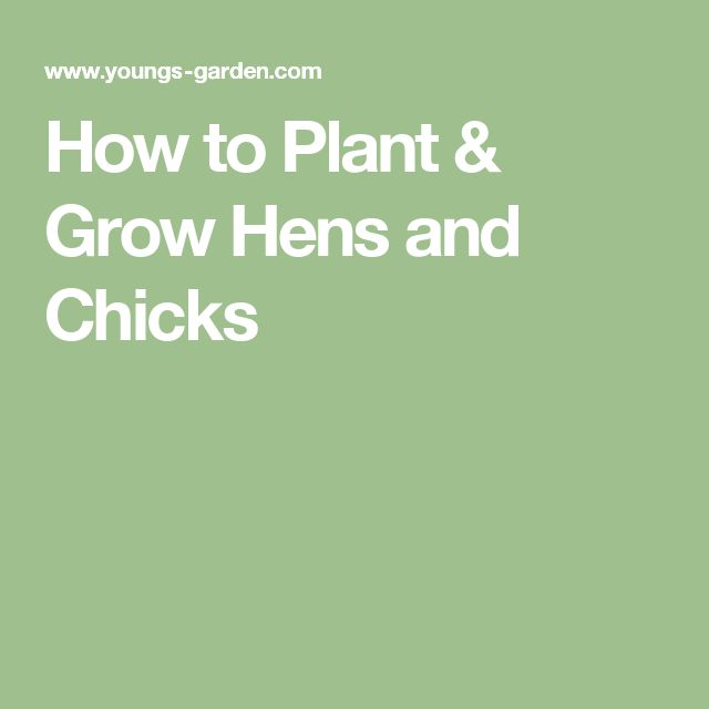 How to Plant & Grow Hens and Chicks