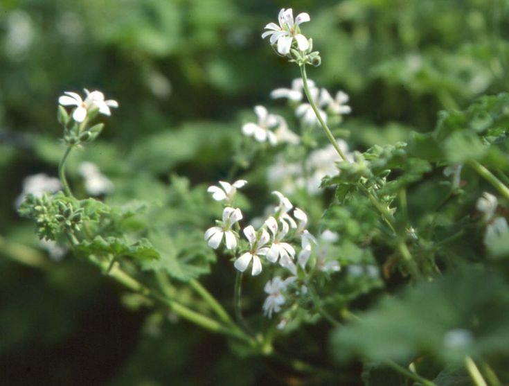 P. odoratissimum (odoroso)