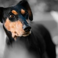 #dogalize Razze cani: Pinscher Tedesco, caratteristiche #dogs #cats #pets