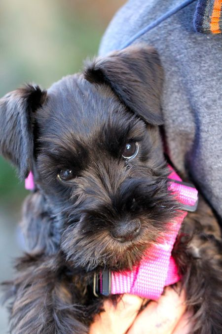 Black Schnauzer ♥ with a pretty pink harness! Molly looked just like this when we brought her home at 10 weeks.