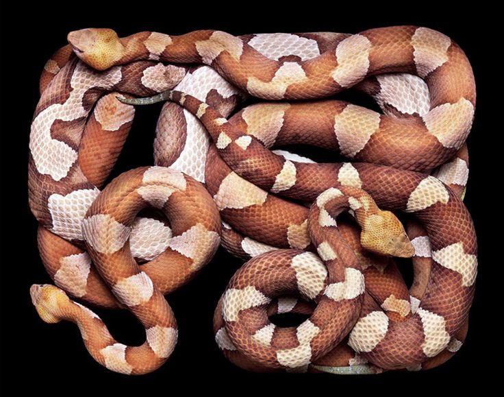 Snakes: Photographers, Spiders, Friends, Copper, Mocafico Guido, Guidomocafico, Prints, Snakes, Animal