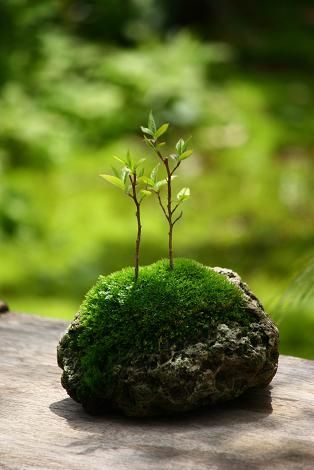 This moss should grow on the slag from the mills which we find in our Lake Superior.