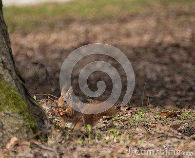 Scientific name of this squirrel: sciurus vulgaris