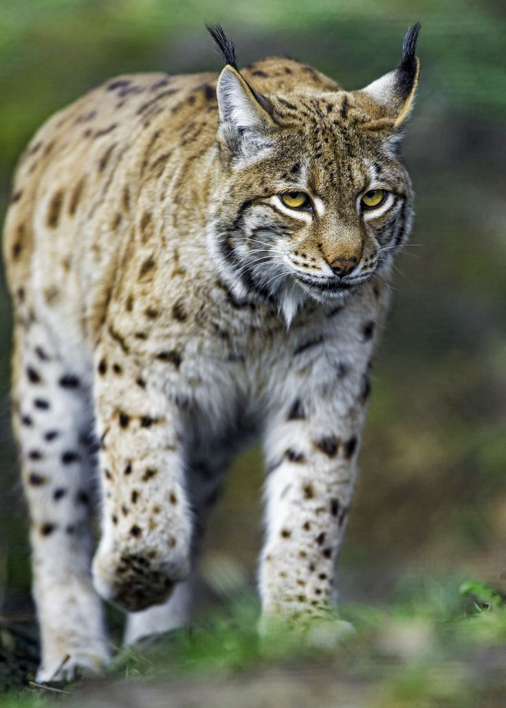 https://flic.kr/p/F3UMYg | Concentrated lynx walking | A nice picture of a lynx concentrated and walking...