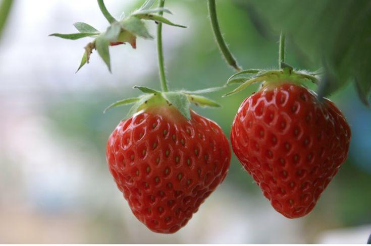 Les 25 meilleures id es de la cat gorie cultiver des fraises sur pinterest jqrdin de fraises - Comment planter des framboisiers ...
