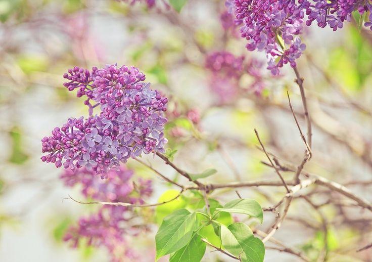 Violet. Lilac