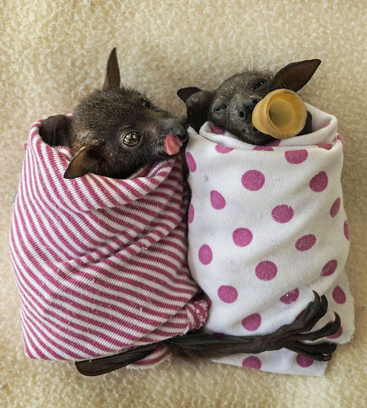 Australian Bat Hospital Takes in Abandoned Baby Bats (14 pics)