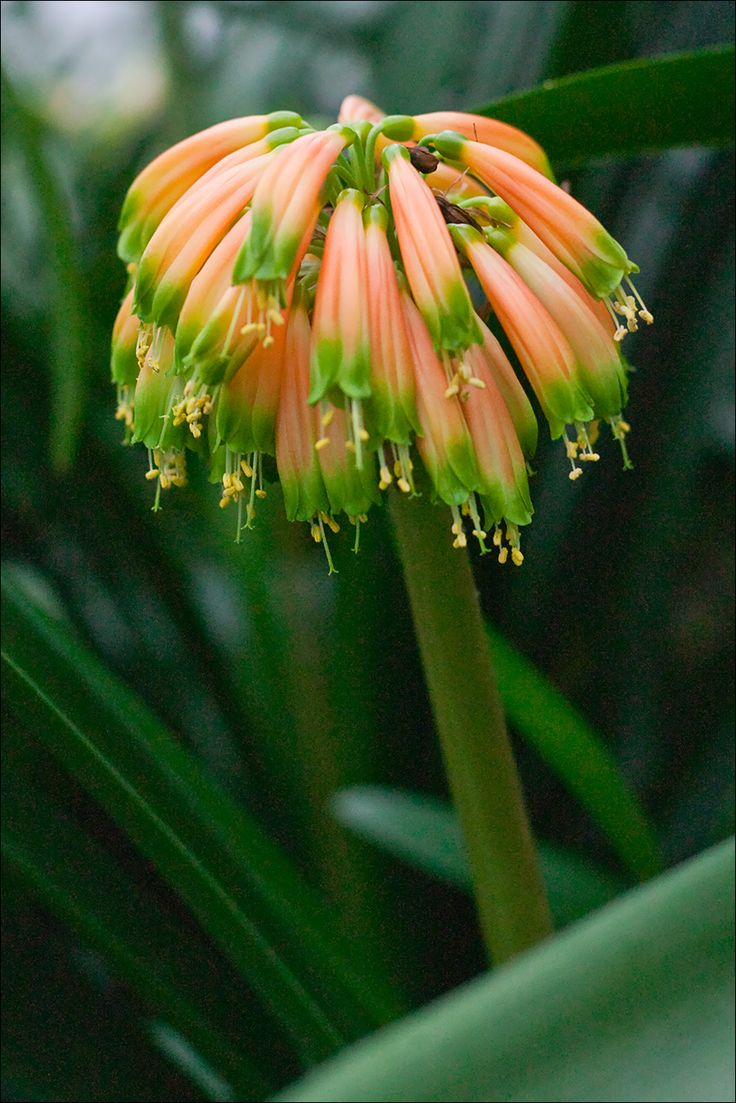 Clivia gardenii, Orange/Bronze 8.  Colorado Clivia plant number 666.